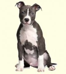 Pitbull Terrier American Puppies For Sale In De Md Ny Nj Philly
