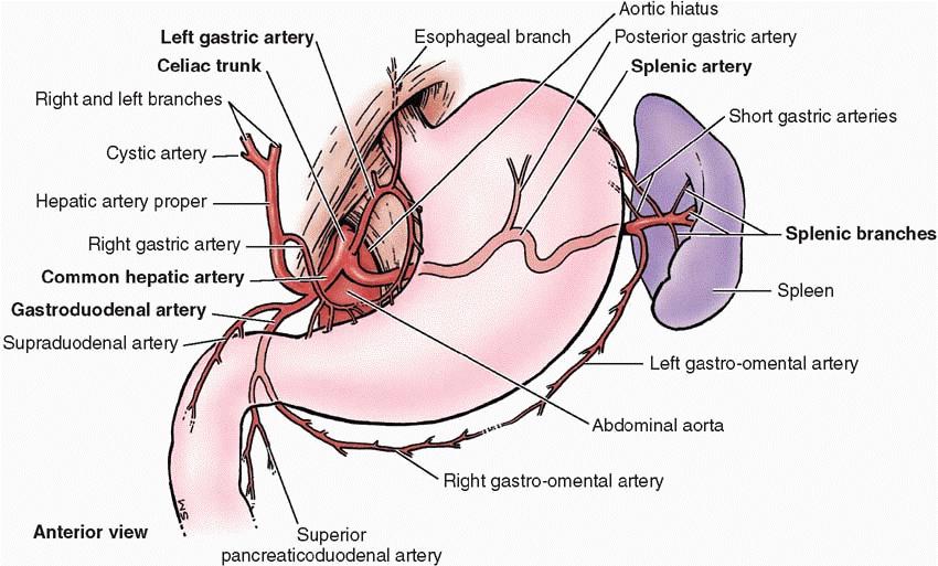 Celiac Artery Branches And Corresponding Organs Stomach Pancreas