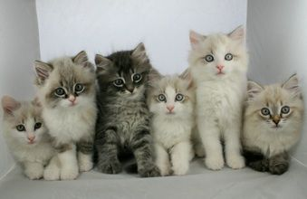 Page Not Found Siberian Kittens Cat Training Siberian Cats For Sale