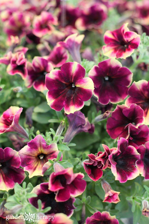 Modern Petunia Varieties No Longer Just The Pinkest Pink Flower Garden Therapy Petunia Flower Flower Landscape Petunias