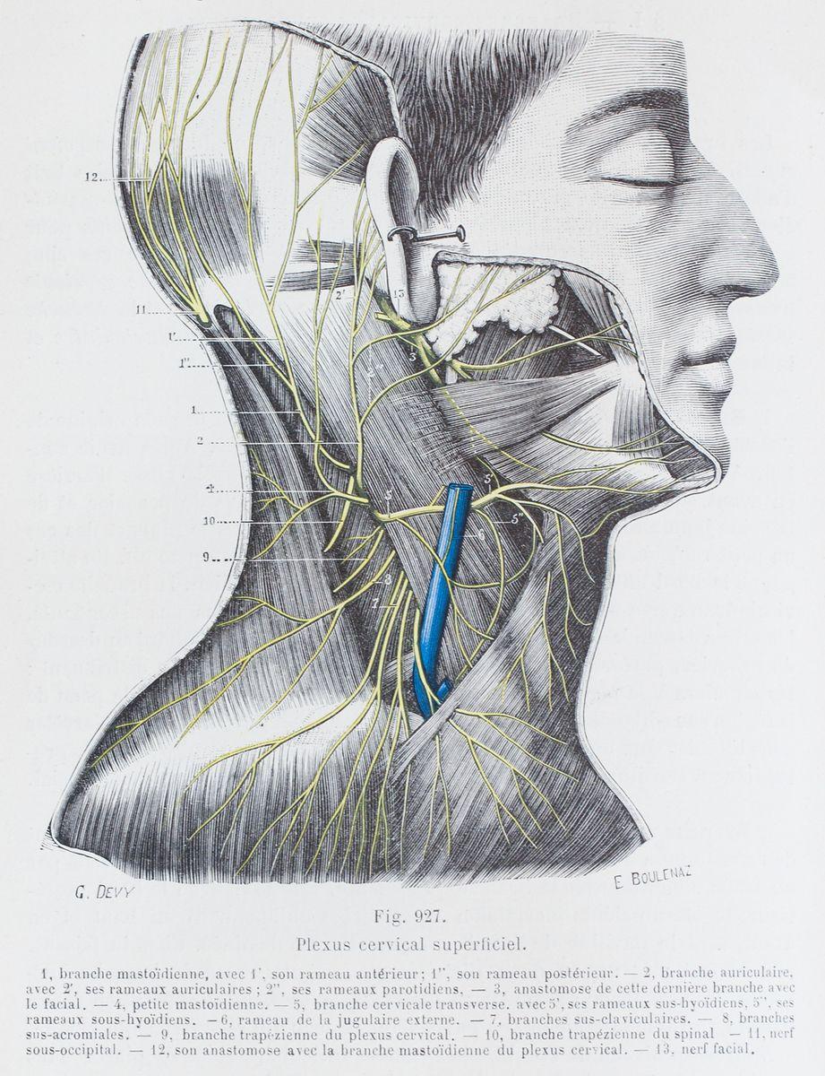 Plexus cervical superficiel | Anatomia | Pinterest | Illustrators