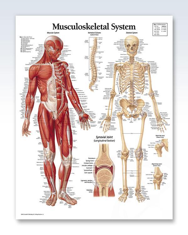 Musculoskeletal System Chart 22x28 Pinterest Anatomy Chronic