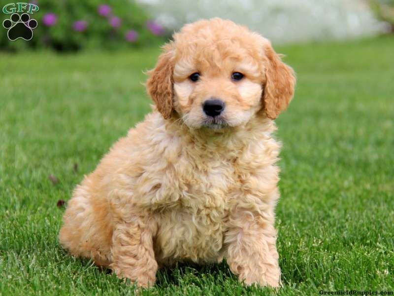 Chris Fisher Is A Mini Goldendoodle Dog Breeder From Gordonville
