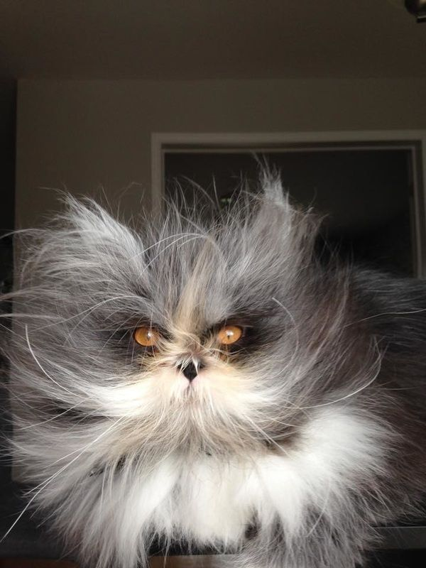 Atchoum The Cat Atchoum Suffers From Hypertrichosis