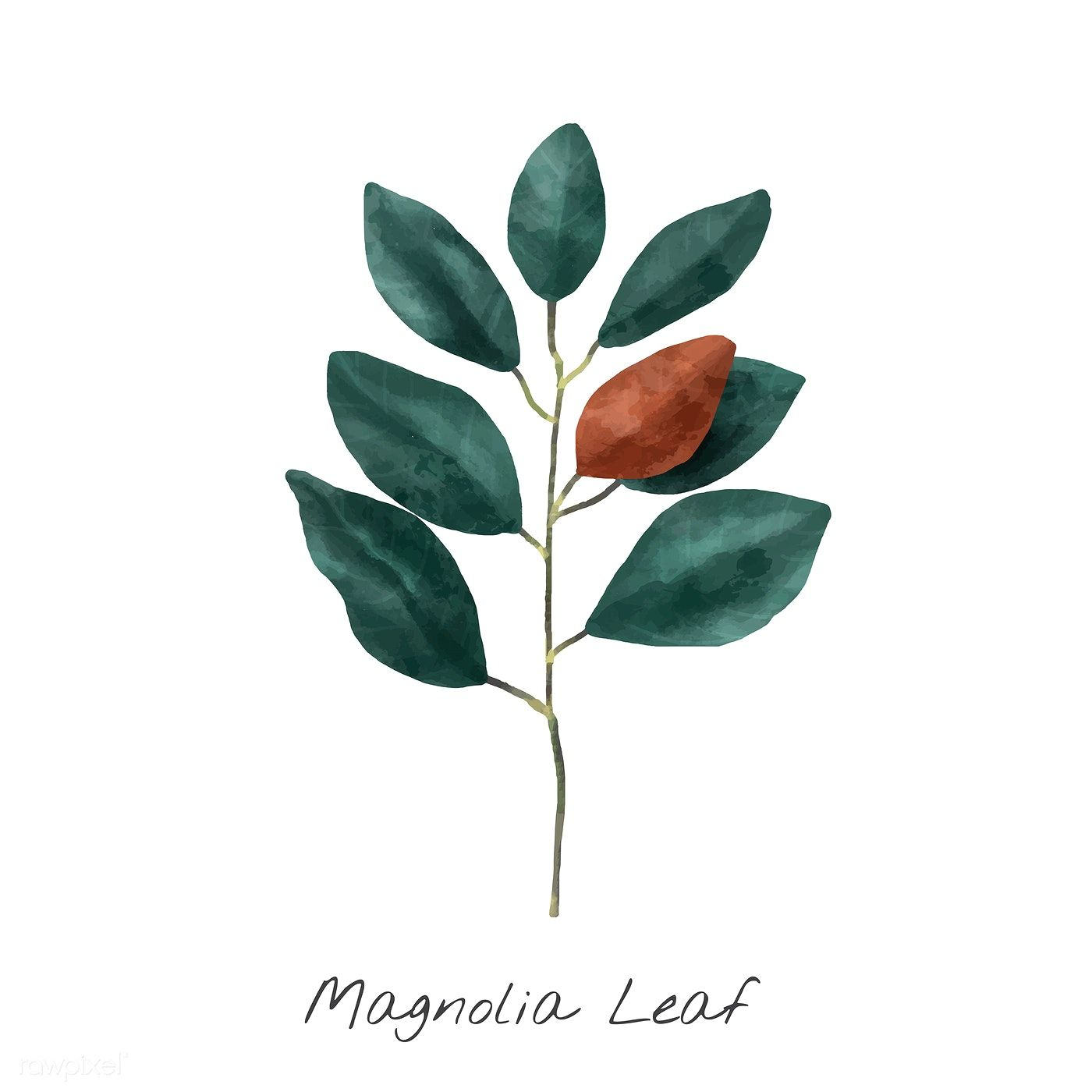 Download Premium Vector Of Illustration Of Magnolia Leaf Isolated On White In 2020 Watercolor Plants Flower Illustration Plant Illustration