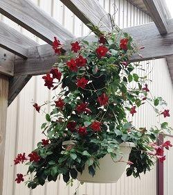 Mandevilla Sun Parasol Crimson Makes A Pretty Hanging Basket And Can