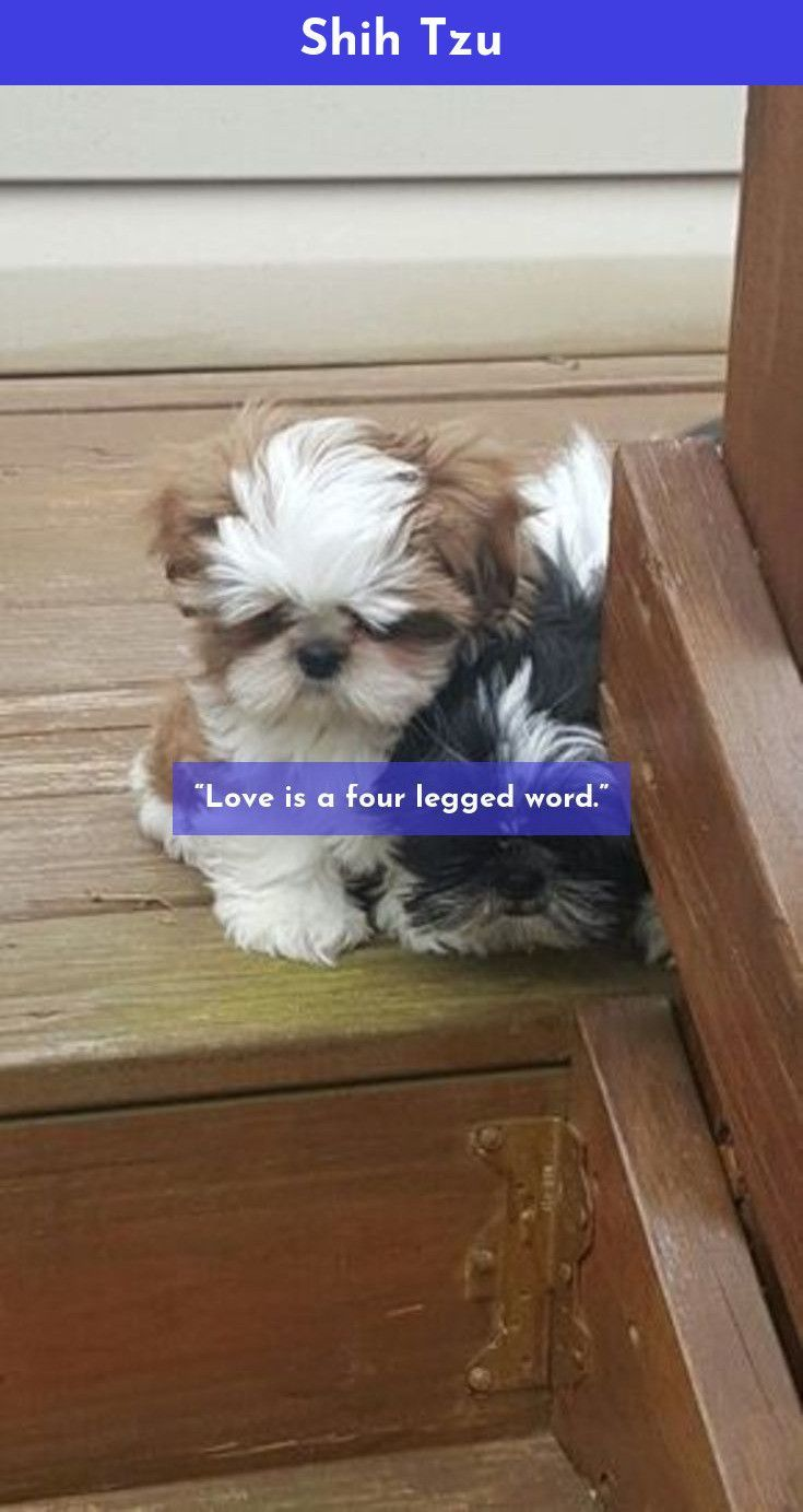 Read About Shih Tzu Shihtzu Just Click On The Link For More Info Shih Tzu Cute Dogs Shih Tzu Puppies Kitties
