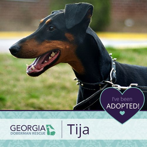 I Ve Been Adopted With Images Doberman Rescue Doberman Adoption