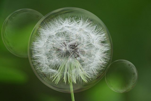 Dandelion Bubbles Dandelion Dandelion Wish Dandelion Seed