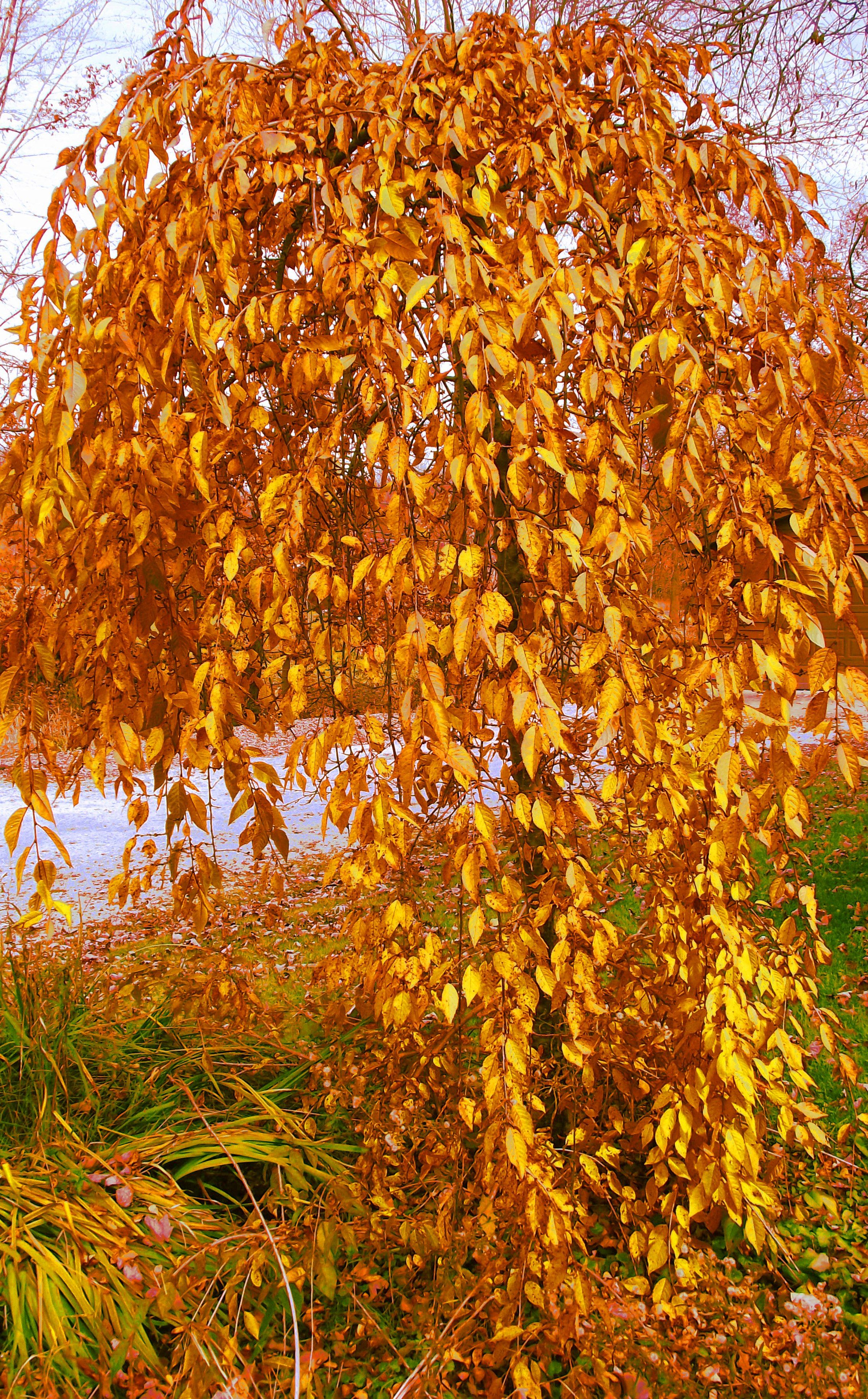 Pin By Ian Wilson On Trees Wood And Leaves Weeping Cherry Tree Autumn Trees Beautiful Tree