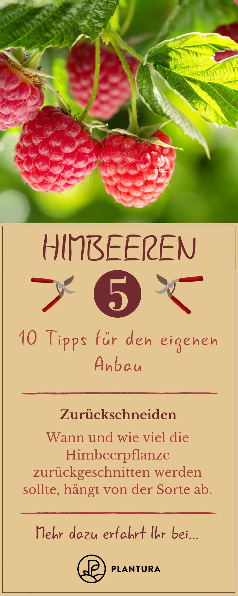 10 Tipps für leckere Himbeeren aus eigenem Anbau #orchideenpflege