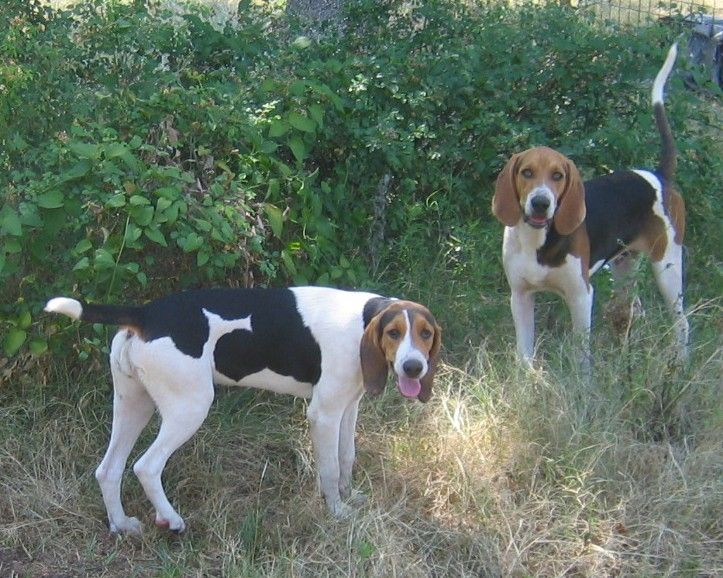 Treeing Walker Coonhounds From White Deer Kennel Walker