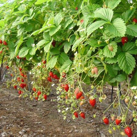 fraisier 39 reine des vall es 39 fraise des bois jardin pinterest fraisier la vallee et. Black Bedroom Furniture Sets. Home Design Ideas
