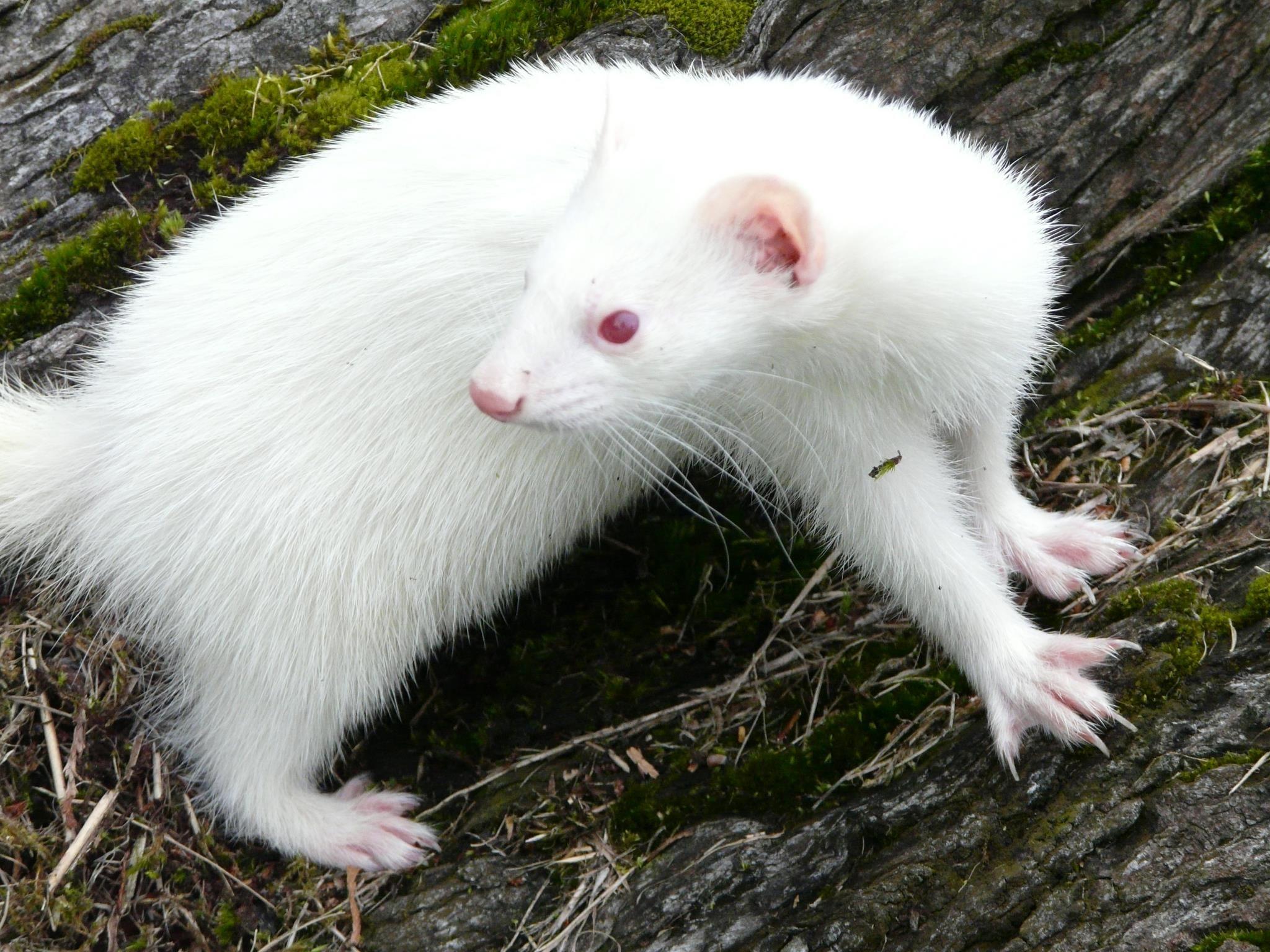 Why Do Albino Animals Have Red Eyes Albino Animals Rare Albino