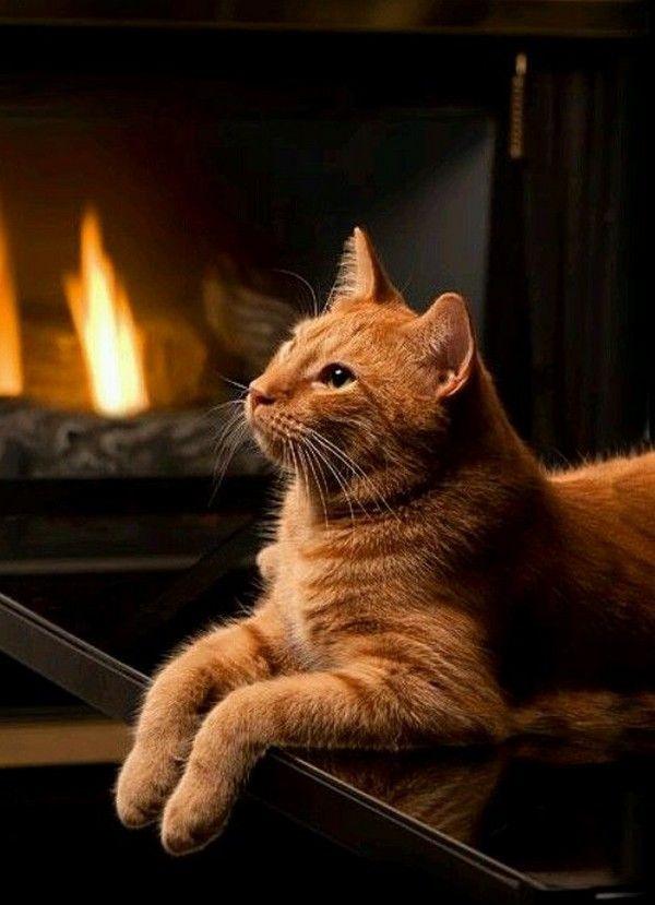 Fire Cat Tabby cat, Orange cats