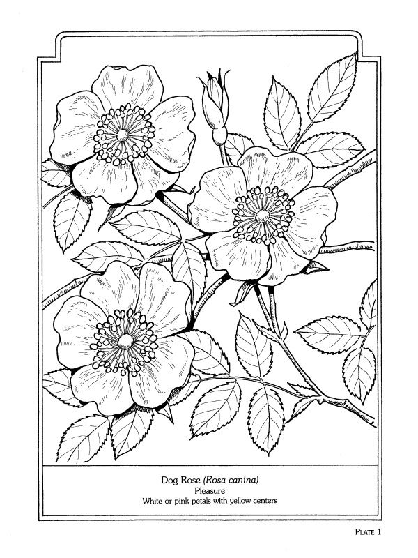 Dog Rose - The Language of Flowers Coloring Book                              …