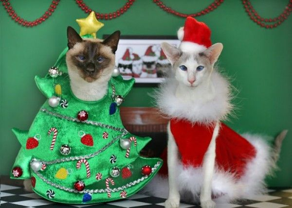 Christmas Kittens | Great Holiday Cards don't just make themselves. Some  cat parents . - Christmas Kittens Great Holiday Cards Don't Just Make Themselves