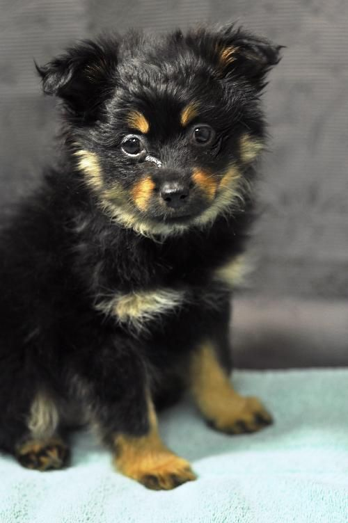 Lucy Lu D140070 Is An Adoptable Pomeranian Mix Puppy With Secondhand Hounds In Edina Minnesota Weight 4 Lbs Dog Friends Pomchi Puppies Pomeranian Mix