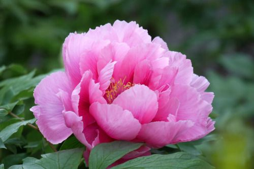 ぼたん (牡丹)/Paeonia suffruticosa by nobuflickr