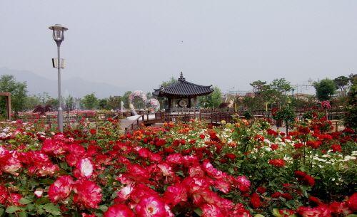 International Rose Festival Gokseong (곡성 세계장미축제), Gokseong-gun, Jeollanam-do