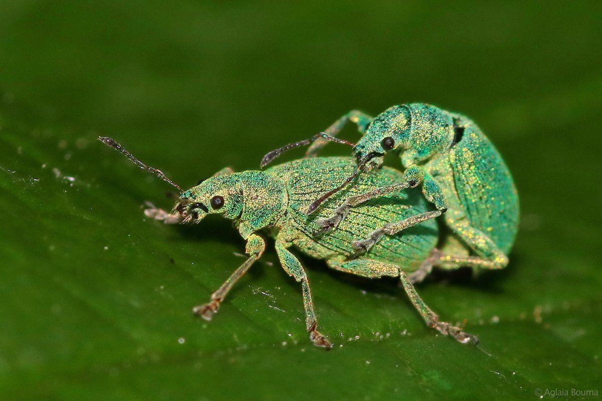 groene struiksnuitkevers /Polydrusus sericeus/ @AglaiaBopuma