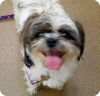 Wichita Ks Shih Tzu Mix Meet Iris A Dog For Adoption Http