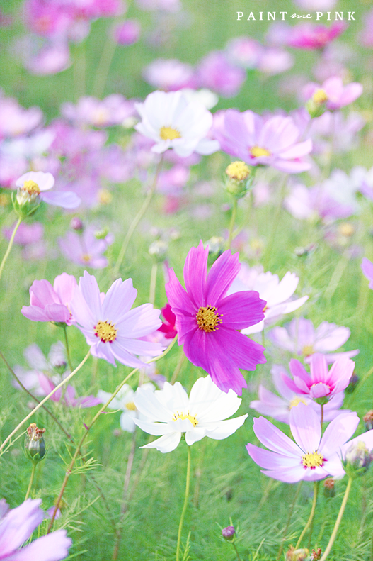 A Field Of Cosmos Pretty Flowers Plant Design Cosmos Flowers