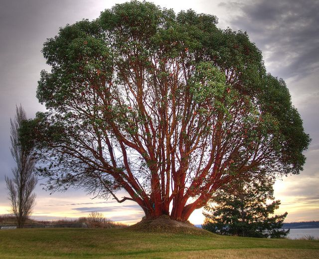 The huge madrona tree at Fort Worden State Park.  Pretty sure this is where we will be having the ceremony
