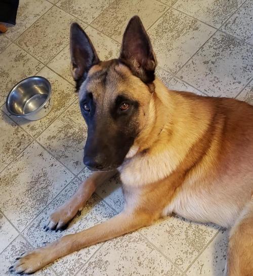 Adopt Yahtzee 1129 on in 2020 Malinois dog