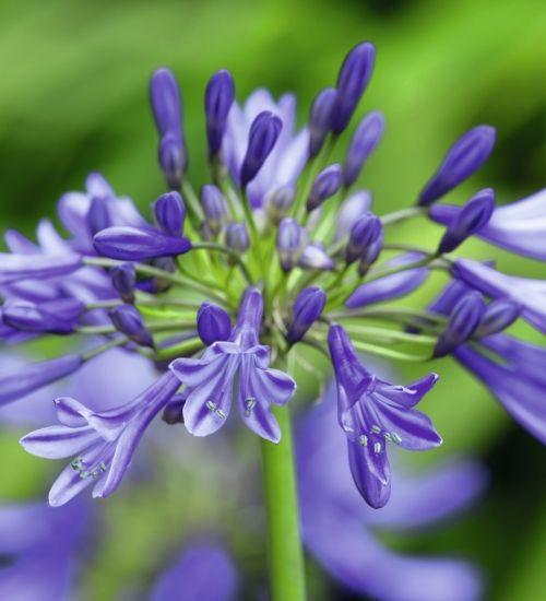 Agapanthus Navy Blue Flores Plantas Cuadros
