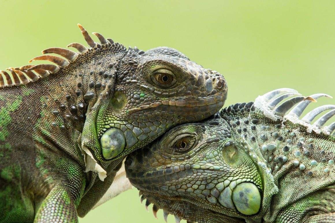 Two Iguanas Were Fighting In A Florida Starbucks Parking
