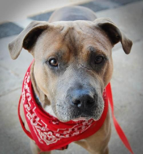 This is sweet and gentle Pacino, a loving adult boy with an obviously troubled past. He was left in a crate at the shelter in the middle of the night. His scars tell of his tough past, but he's a positive, calm, attentive guy just looking for a home. Pacino is available through Ambassador Pit Bull Rescue!