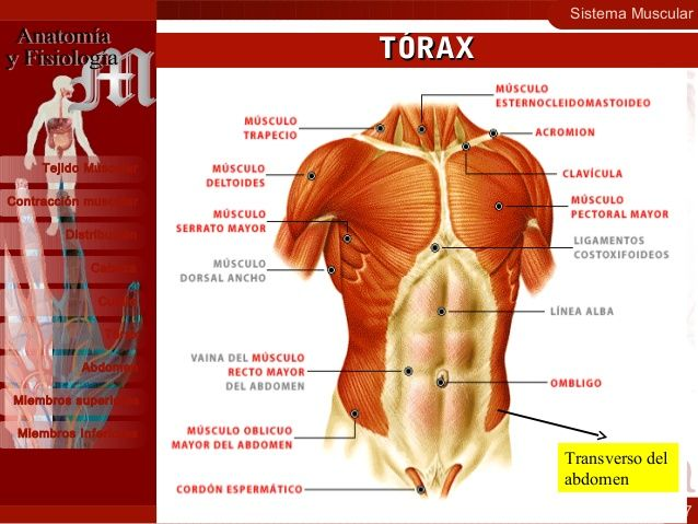 Sistema Muscular 17 Contracción muscular Distribución Cabeza Cuello ...