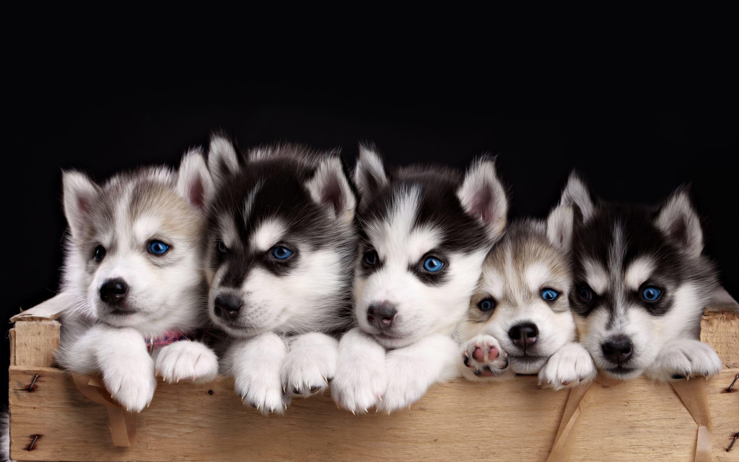 2560x1600 Husky Puppies Wallpaper Hd For Desktop Of Miniature Husky Cute Husky Puppies Husky Puppy Puppy Wallpaper