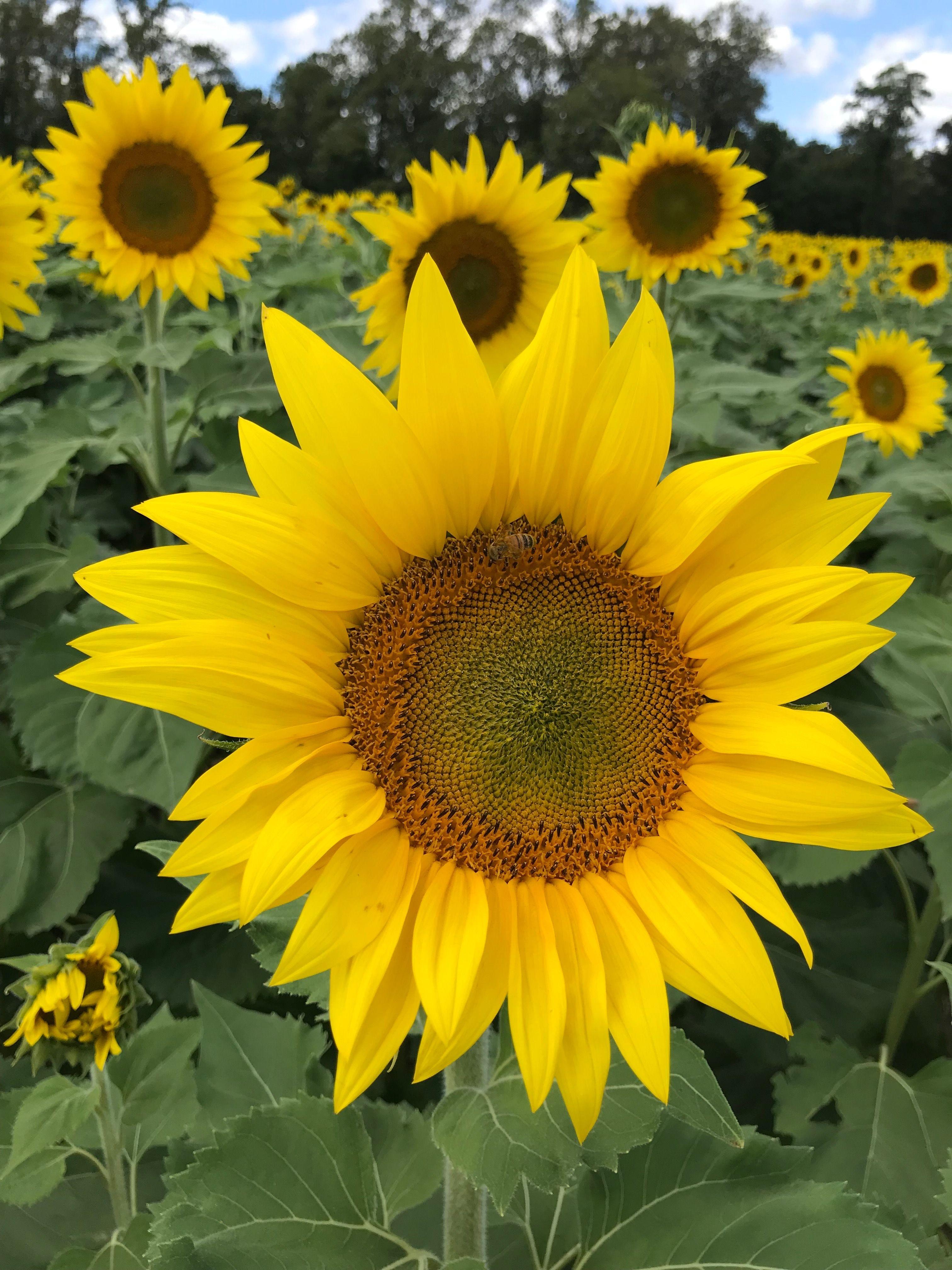 Pin By Karen Kucharczyk On Sunflowers Plants Sunflower Garden