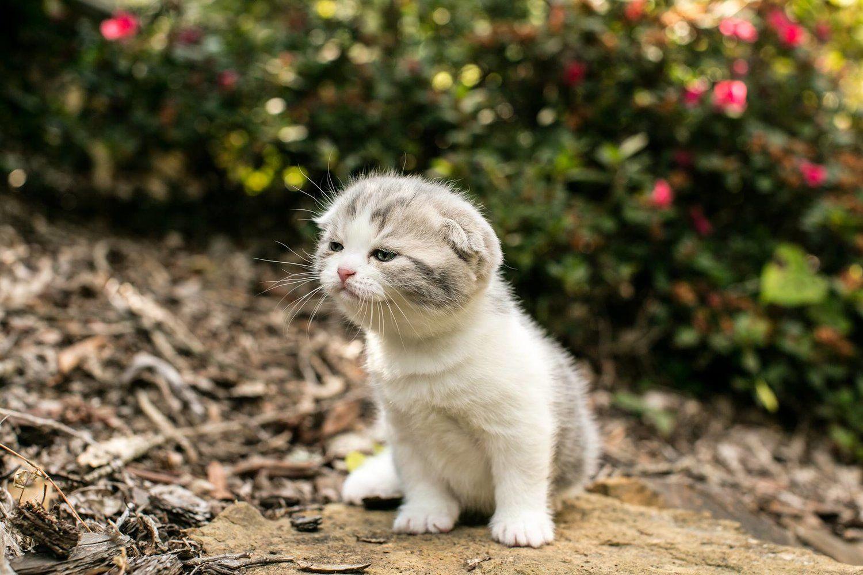 Kalai's Scottish Folds Kitten scottishfolds Scottish