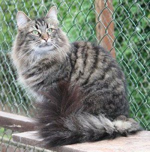 Norwegian Forest Cat - Brown Mackerel Tabby | ♥ Fabulous ... Tabby Norwegian Forest Cat