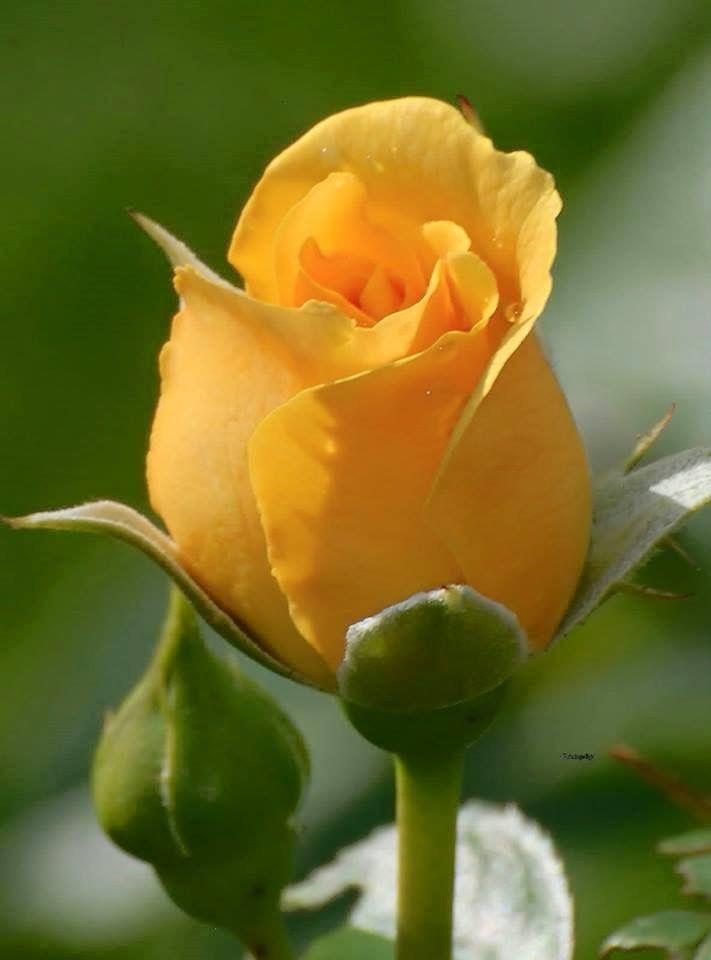 Image result for Flores amarillas gif