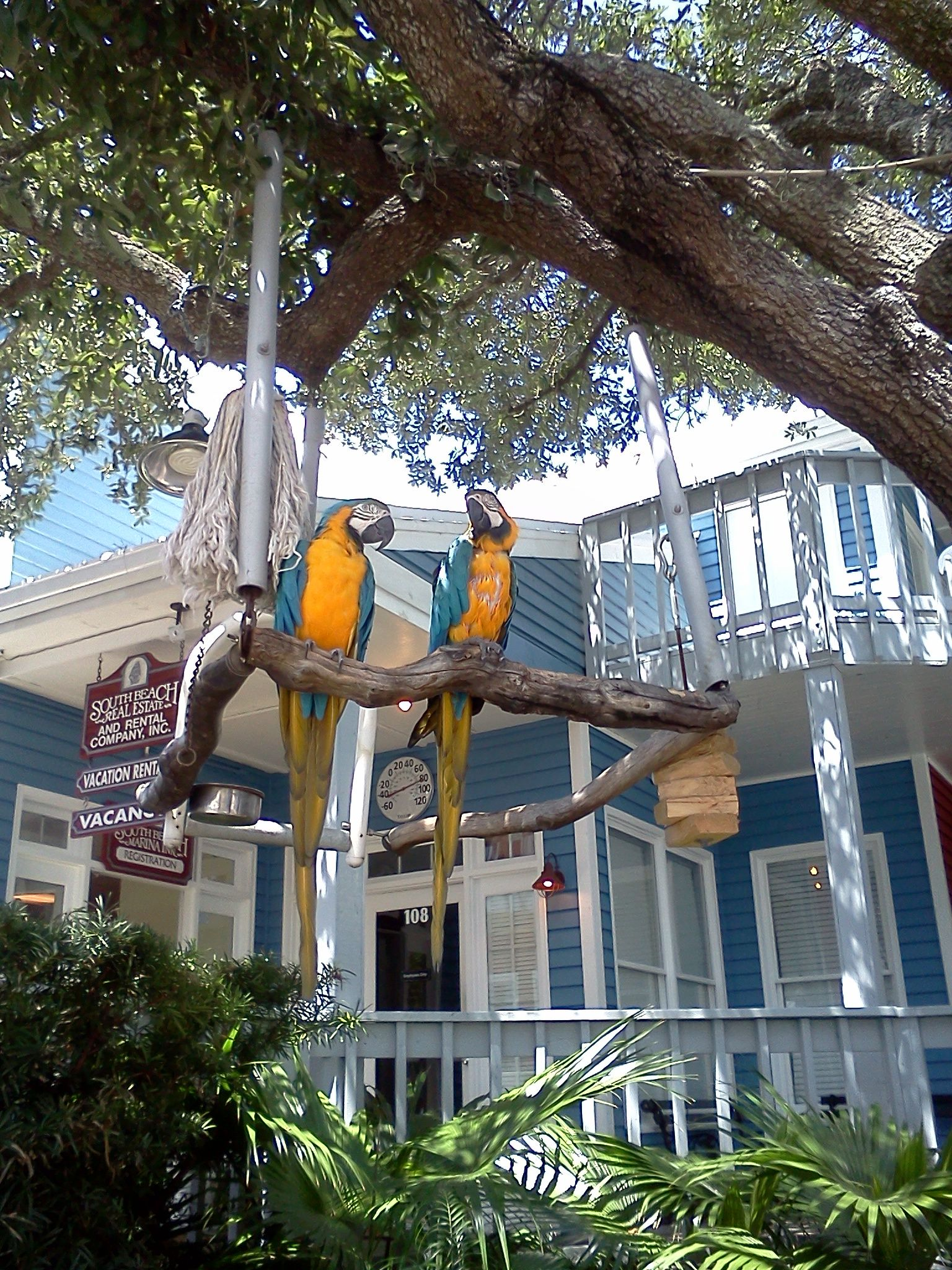 The parrots at the Salty Dog Cafe and Tshirt Shop. Hilton