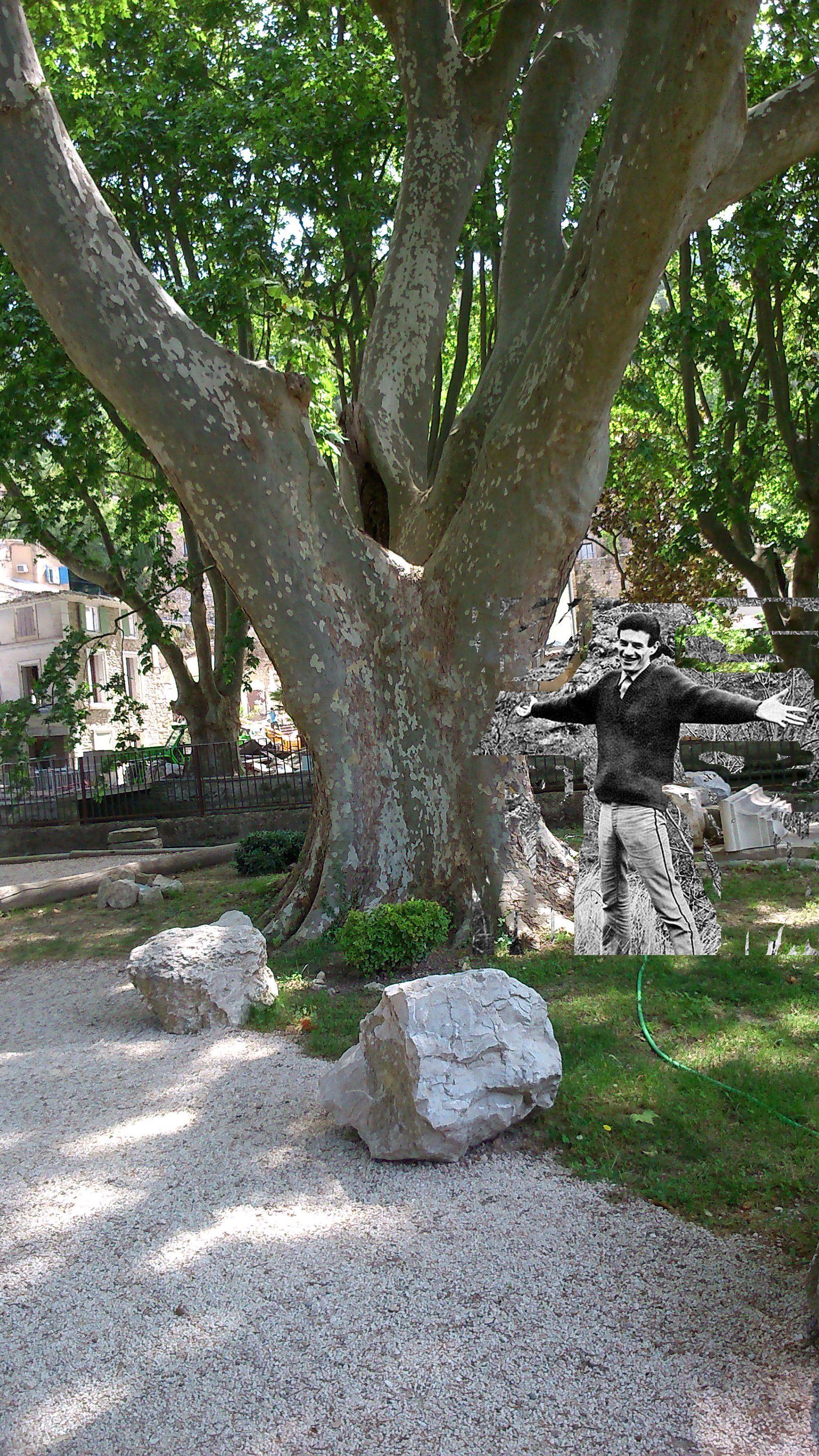 Platane à Pernes les Fontaines