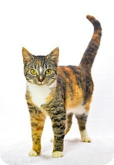 2/3/17 URGENT!! Oxford, MS - Domestic Shorthair. Meet Joy, a cat for adoption. Hi, my name is Joy and I am 8 1/2 months old!  I am a true beauty, and would love to be your forever friend!  I am super sweet and playful and we can make beautiful music together! http://www.adoptapet.com/pet/17331691-oxford-mississippi-cat