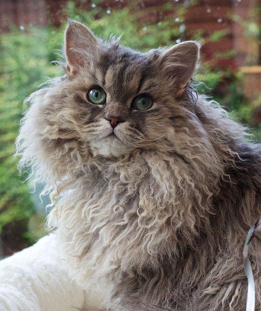 Look At This Wonderful Fur Bertie Is Longhaired Curly Blue Tabby