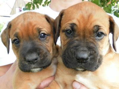 Rhodesian Ridgeback Boxer Mix Puppies Aktuelle Anzeigen Mimie