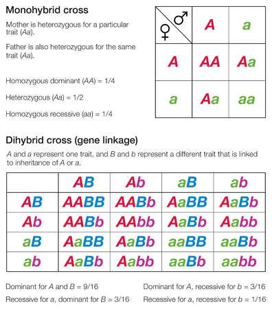 Dihybrid Cross: A cross between F1(first filial) generation ...