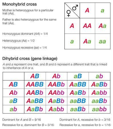 Dihybrid Cross A Cross Between F1 First Filial Generation