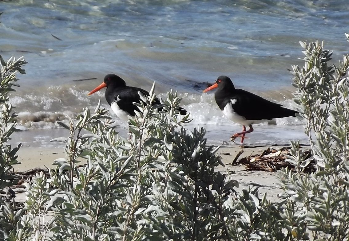 A pair of Pied Oystercatchers spotted in Lincoln National Park, South Australia http://greynomadtimes.com/wp-content/uploads/2012/06/OysterCatcher02.jpg