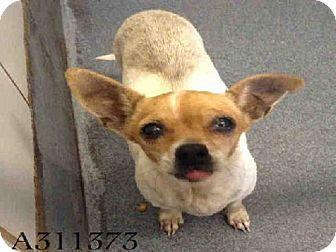 San Antonio Tx Chihuahua Meet Ashby A Dog For Adoption Dog Adoption Kitten Adoption Pets