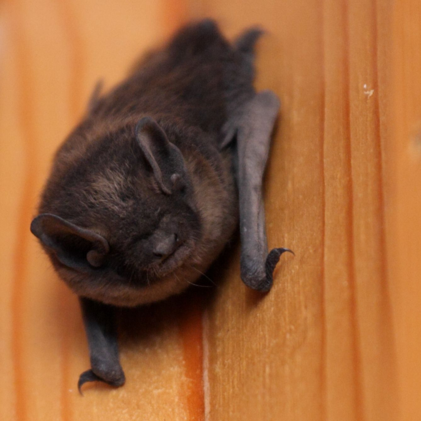 Bat In House What To Do Bat Houses Bat Getting Rid Of Bats