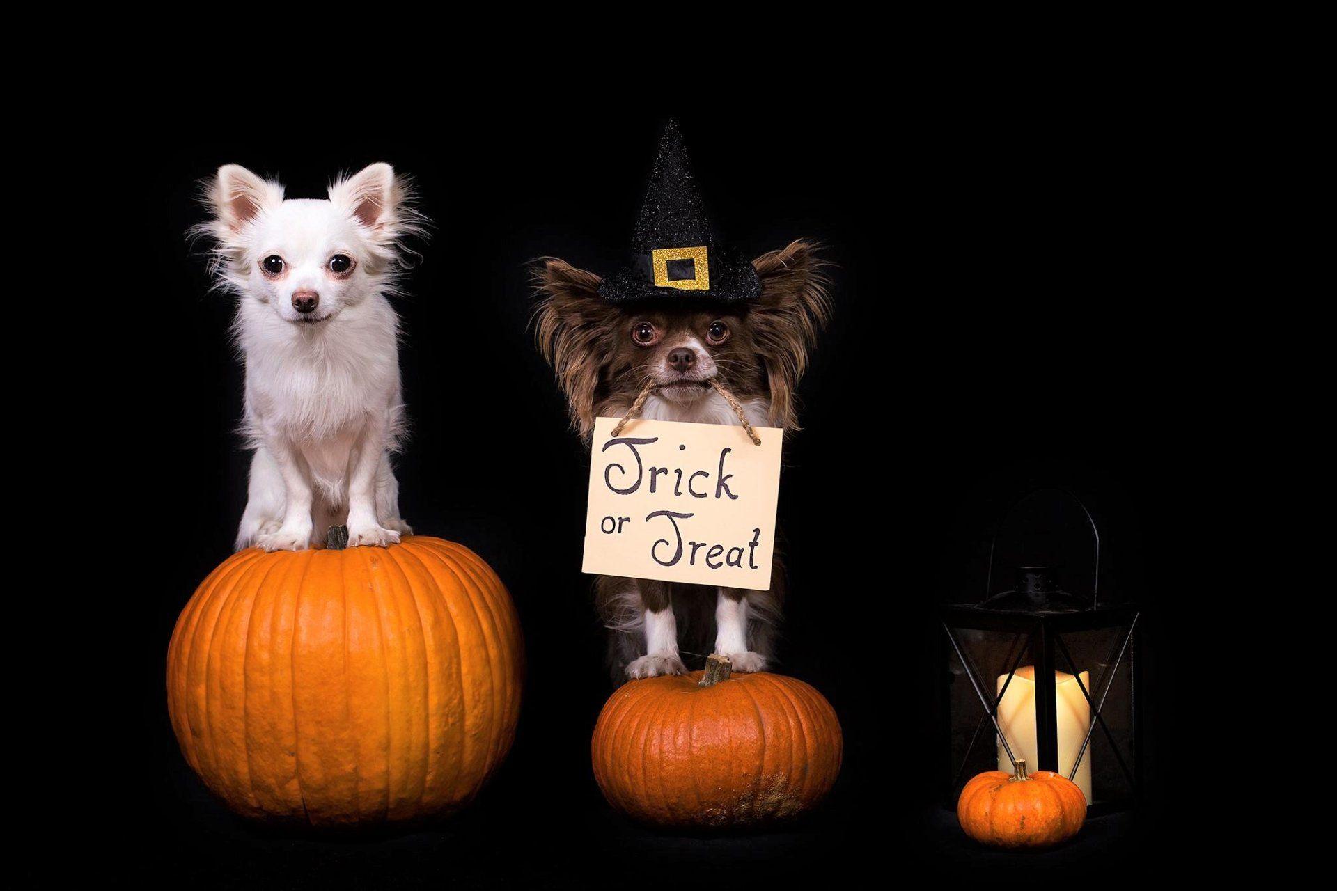 Holiday Halloween Holiday Dog Pumpkin Trick Or Treat Wallpaper Dog Halloween Dog Holiday Halloween Wallpaper