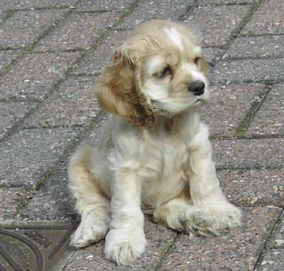 Pin By Danielle Andrews On Cute Animals Cocker Spaniel Dog American Cocker Spaniel Cocker Spaniel